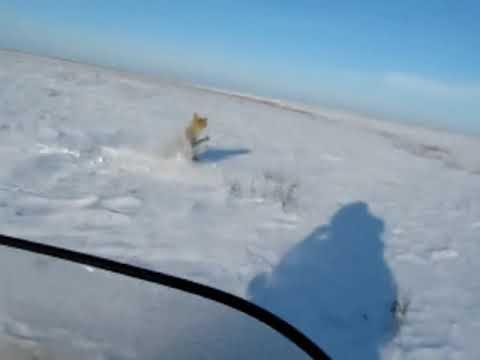 охота на волков в Казахстане 2010