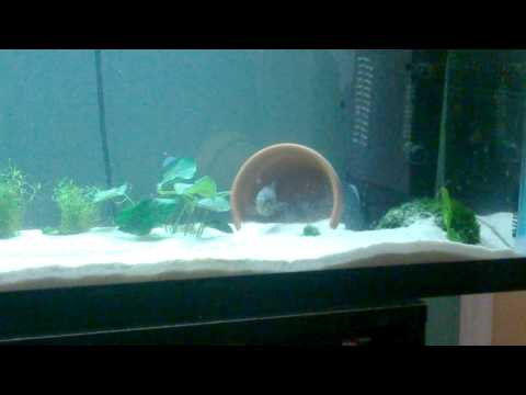 Female Convict Cichlid Cleaning Nesting Spot