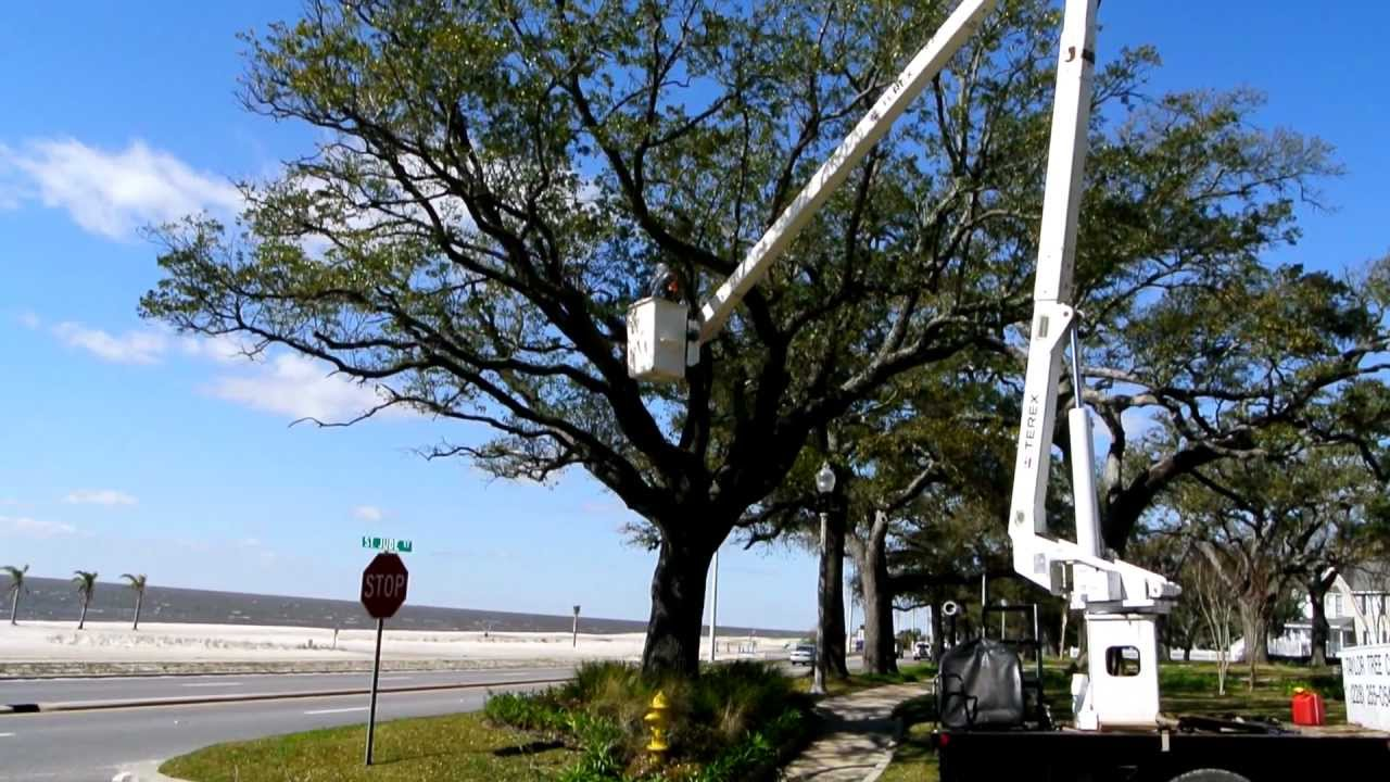 How to Trim Oak Trees recommendations