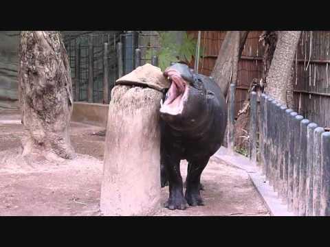 上野動物園コビトカバ_コユリおもちゃに挑戦