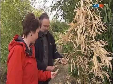 MDR Garten, Bambuspflanzen Nach Dem Winter, Bambuspflege - Www.Bambuswald.de