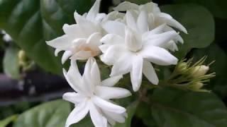 163🌿🌹मोगरा /बेला में पाने हैं ढेरों फूल तो ये करें/For lots of flowers in JASMINE do this