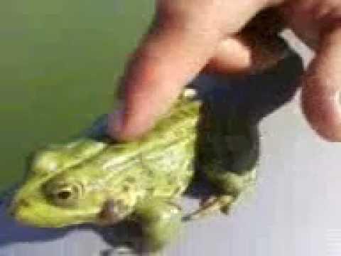 ловить на лягушку видео