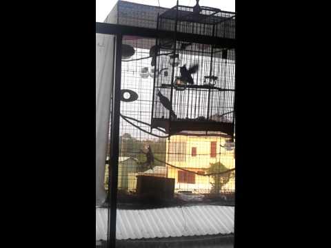 Tiếng Chim Chào Mào Hay -- Hót -- Choé -- Vỗ Cánh Liên Tục video