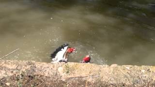 Ducks Fight (pelea de patos criollos)