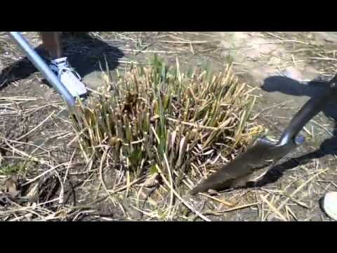 How To Dig And Divide Ornamental Grasses Tip From