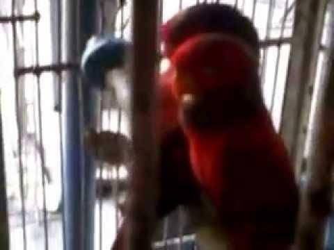 Suara Kicau Burung Nuri Merah video