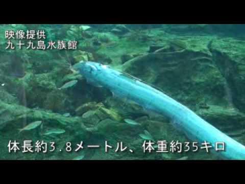 水族館で泳ぐリュウグウノツカイさん