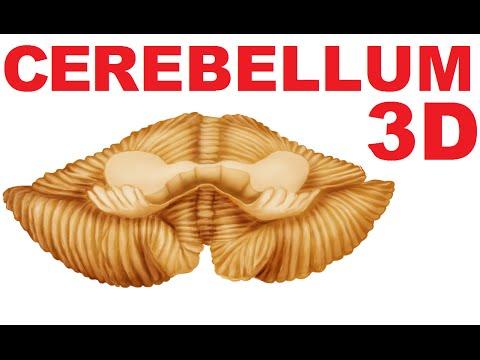 Cerebellum Anatomy - Lobes and Structures - Cerebellum #1 thumbnail