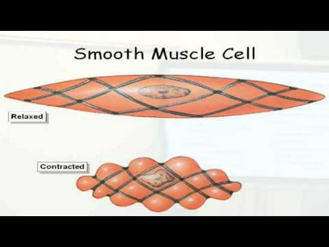 Three Types of Muscle Tissue Biol 2020 Muscle Tissue Types