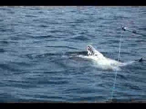 Orca ataca tortuga en puerto la cruz