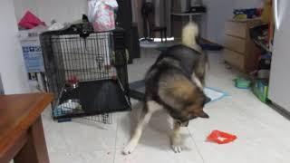 Funny dog video (chasin lasar)