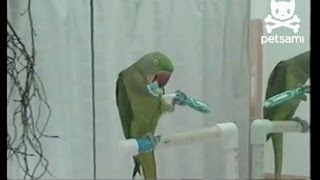 Parrot brushes teeth to hide bad breath