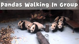 Pandas Walk In Group For Their Bamboos | iPanda