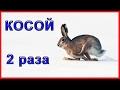 ☝▶Косой. 2 раза. ОХОТА 2016-2017 ЗИМНЯЯ ОХОТА НА ЗАЙЦА. Тропим зайца ИЖ-12 Hare Hunting