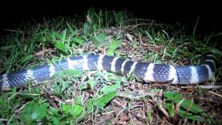 video of a 1.2 meter Bunagarus multicinctus (Many-banded krait)