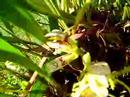 Maxillaria Cultivation | RM.