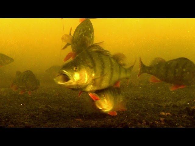 Fishing: catching perch with dead + soft bait underwater camera Рыбалка ловля окуня подводная съёмка