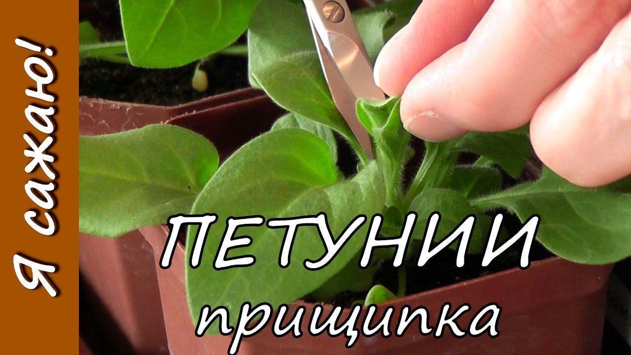 Как прищипнуть рассаду петунии 85