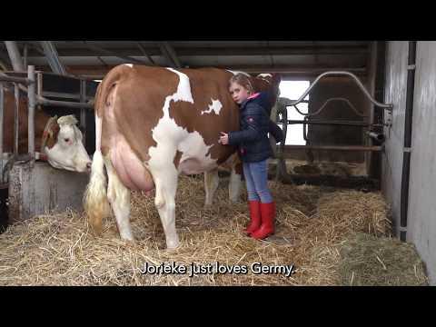 Germy - A beautiful Fleckvieh cow