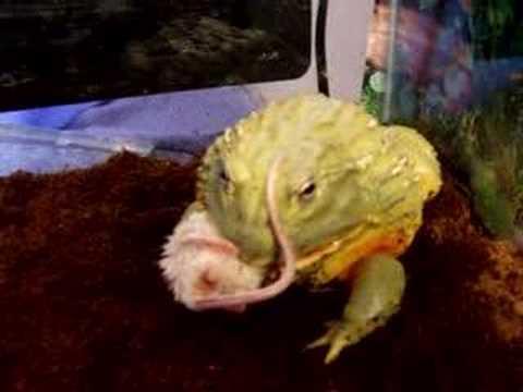 V Mouse Eating Scene jabba african bullfrog...