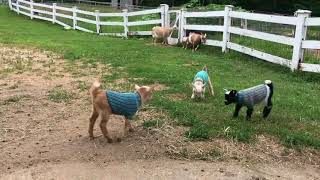 Baby Goats Jump for Joy in Their New Sweaters
