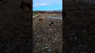 GSD puppies evening play