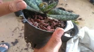 Cách trồng lan hài đơn giản