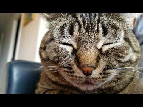 Feline Observational  - Tacy Cat Falling Asleep