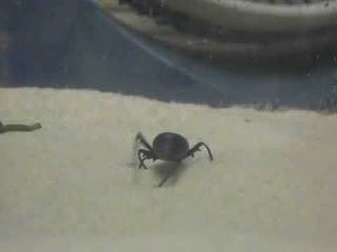 Darkling Beetle Behavior Video