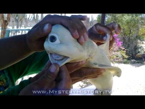 Cyclops Shark Discovered In Sea of Cortez