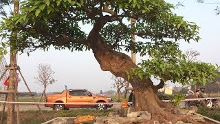Đến Quốc Oai quê tôi ngắm những tác phẩm đỉnh cao tại triển lãm SVC - bonsai exhibition in Quoc Oai
