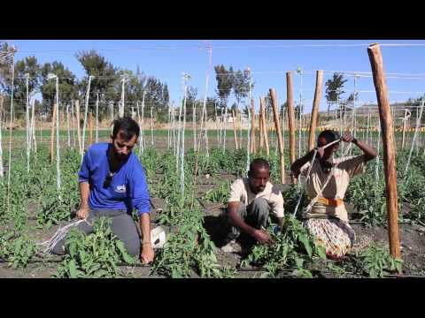 EWB - Israel, Faculty of Agriculture: Instructional Video part 3, Growing Tomatoes in Ethiopia