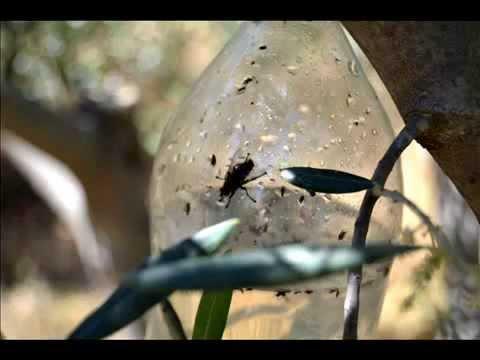 ZEYTİN SİNEĞİ (Bactrocera oleae)... USAGRO | Türkiye