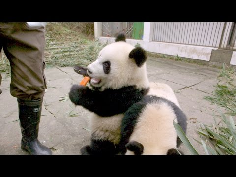 Panda Twins are Hungry and Rambunctious