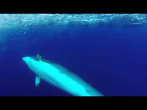 Minke Whale greeting us aboard a Sailboat Southeast of the Bahamas