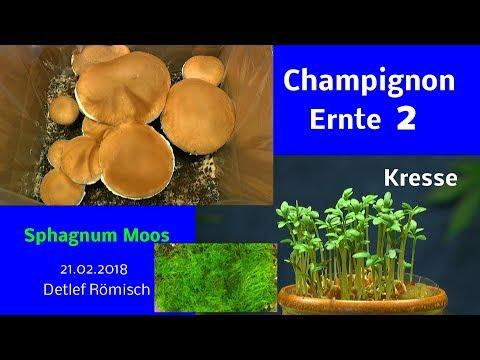 Pilzanzucht Stein Champignon zweite Ernte Kresse Anzucht