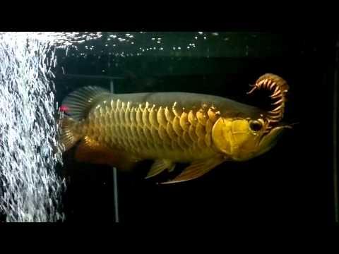 ปลามังกรแดกตะขาบ
