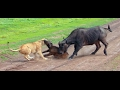 Lions hunting a buffalo in Serengeti NP, Tanzania