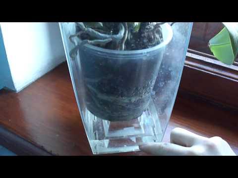 Орхидея вблизи батареи. Мой метод увлажнения. Часть 2.