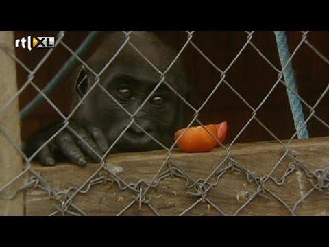 Floortje Dessing knuffelt gorilla's in Gabon - RTL TRAVEL