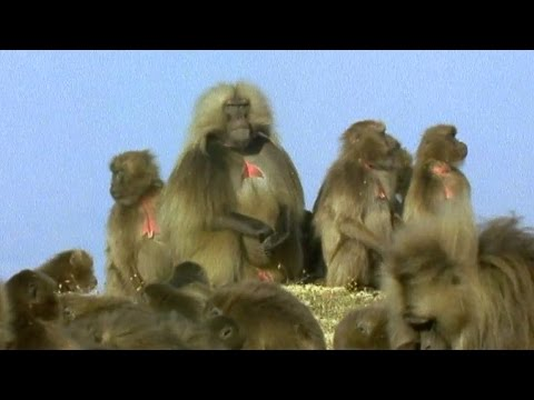 Gelada Baboon Sexual Tension - Battle Of The Sexes In The Animal World - Bbc Earth - Bbc video