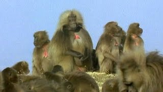 Gelada Baboon Sexual Tension - Battle of the Sexes in the Animal World - BBC Earth - BBC