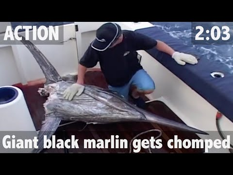 GIANT BLACK MARLIN ATTACKED BY MONSTER SHARKS