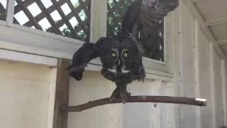 Great Grey Owl in Rehabilitation