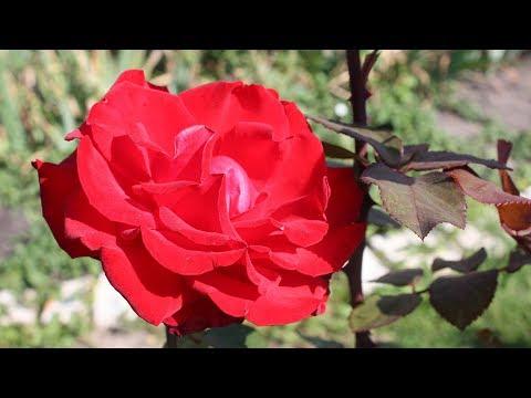 Укрытие роз на зиму – чтобы точно перезимовали