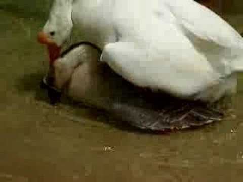 Crazy Fucking Geese video