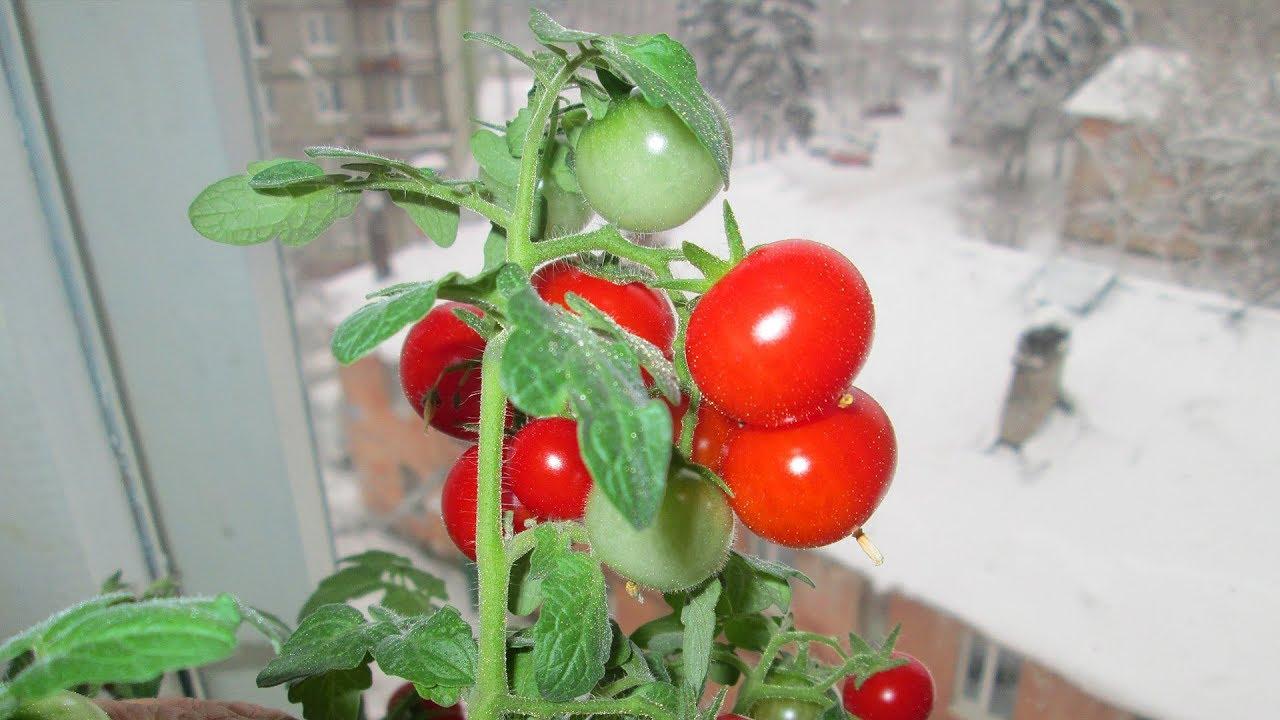 Как сажать помидоры на окне 81
