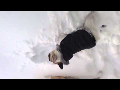 Golden Lab Helps French Bulldog In Snow