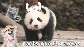 Can Pet Owners Have Direct Contact With Giant Pandas? | iPanda